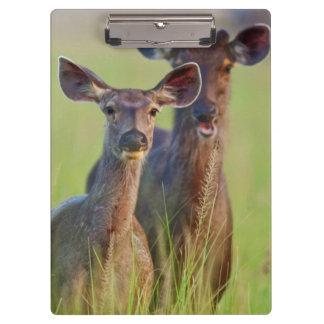 Sambar Deers in the meadows, Corbett National Park Clipboard