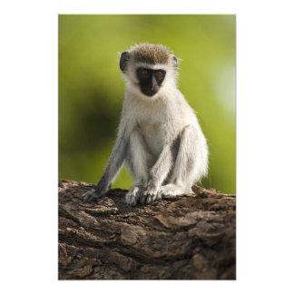 Samburu Game Reserve, Kenya, Vervet Monkey, Photo Print