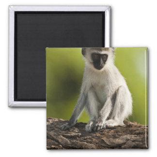 Samburu Game Reserve, Kenya, Vervet Monkey, Square Magnet