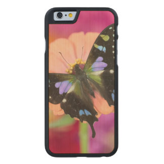 Sammamish Washington Photograph of Butterfly 11 Carved Maple iPhone 6 Case