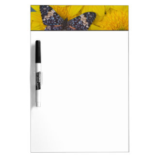 Sammamish Washington Photograph of Butterfly 43 Dry Erase Board