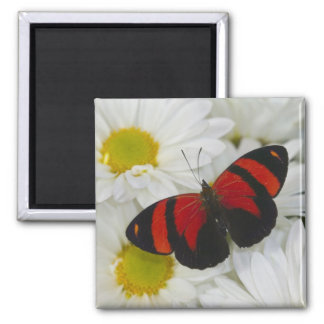 Sammamish Washington Photograph of Butterfly 51 Square Magnet