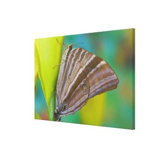 Sammamish, Washington. Tropical Butterflies 12 Canvas Print