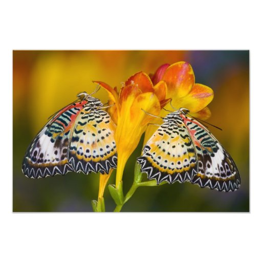 Sammamish, Washington. Tropical Butterflies 12 Photo Print