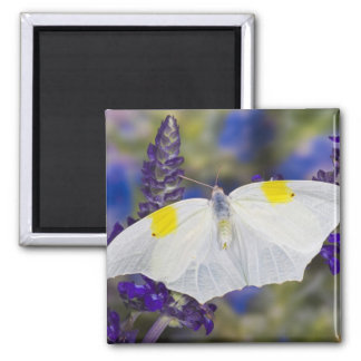 Sammamish, Washington. Tropical Butterflies 13 Square Magnet