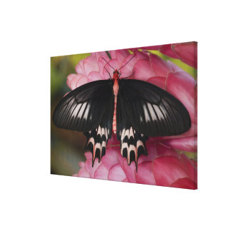 Sammamish, Washington. Tropical Butterflies 14 Canvas Print