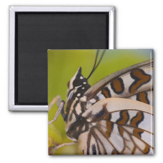 Sammamish, Washington. Tropical Butterflies 23 Square Magnet