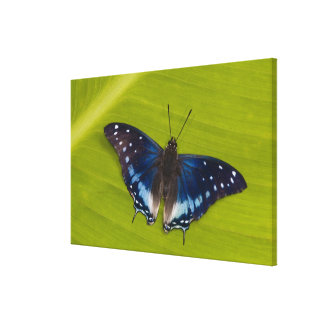 Sammamish, Washington. Tropical Butterflies 28 Canvas Print