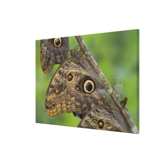 Sammamish, Washington. Tropical Butterflies 29 Canvas Print
