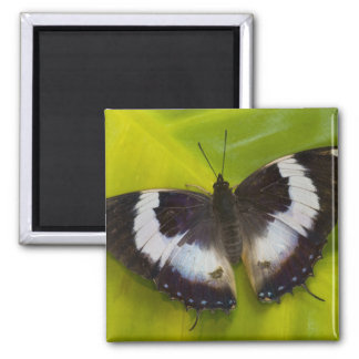 Sammamish, Washington. Tropical Butterflies 29 Square Magnet