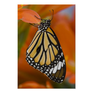 Sammamish, Washington. Tropical Butterflies 2 Poster