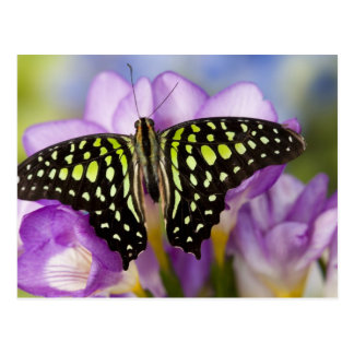 Sammamish, Washington. Tropical Butterflies 44 Postcard