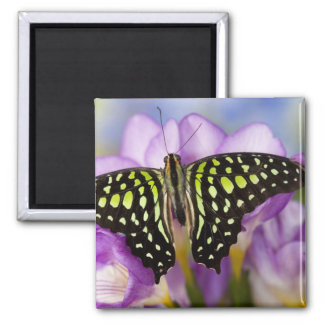 Sammamish, Washington. Tropical Butterflies 44 Square Magnet