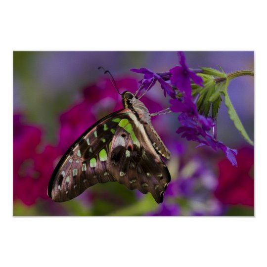 Sammamish, Washington. Tropical Butterflies 45 Poster