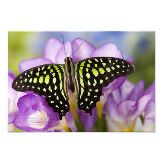 Sammamish, Washington. Tropical Butterflies 48 Photo Print