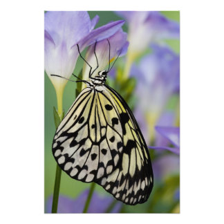 Sammamish, Washington. Tropical Butterflies 4 Photo Print