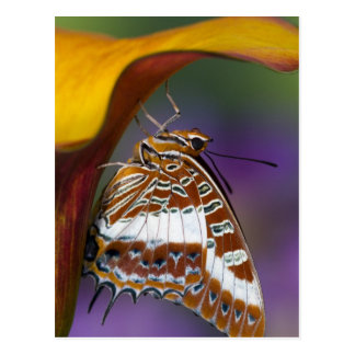 Sammamish, Washington. Tropical Butterflies 4 Postcard