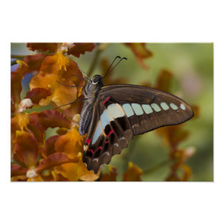 Sammamish, Washington. Tropical Butterflies 51 Poster