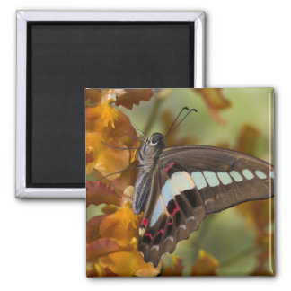 Sammamish, Washington. Tropical Butterflies 51 Square Magnet