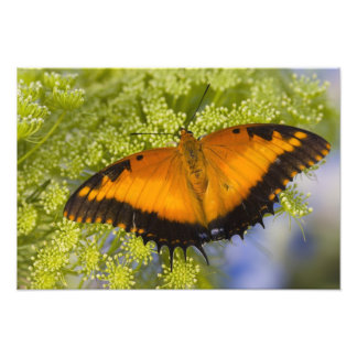 Sammamish, Washington. Tropical Butterflies 58 Photo Print