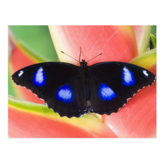 Sammamish, Washington. Tropical Butterflies 58 Postcard