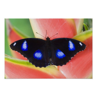 Sammamish, Washington. Tropical Butterflies 58 Poster