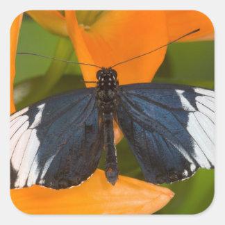 Sammamish, Washington. Tropical Butterflies 59 Square Sticker