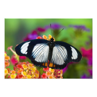 Sammamish, Washington. Tropical Butterflies 5 Photo Print