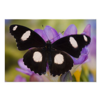 Sammamish, Washington. Tropical Butterflies 60 Poster