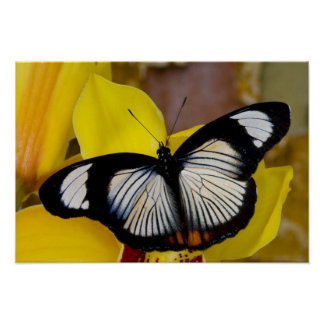 Sammamish, Washington. Tropical Butterflies 62 Poster