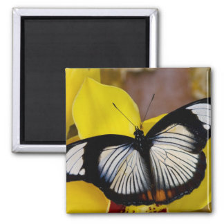 Sammamish, Washington. Tropical Butterflies 62 Square Magnet