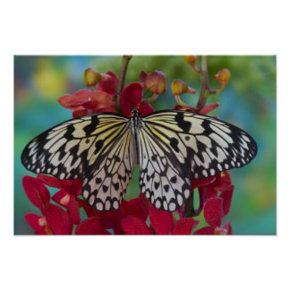 Sammamish, Washington. Tropical Butterflies 63 Poster