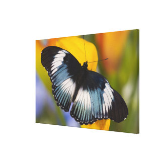 Sammamish, Washington. Tropical Butterflies 65 Canvas Print