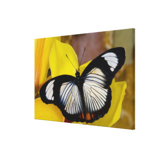 Sammamish, Washington. Tropical Butterflies 66 Canvas Print