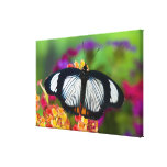 Sammamish, Washington. Tropical Butterflies Stretched Canvas Prints