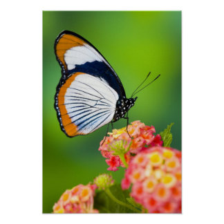 Sammamish, Washington. Tropical Butterflies Poster