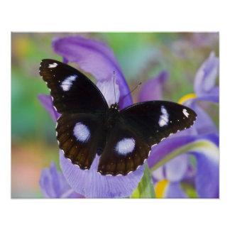 Sammamish Washington Tropical Butterflies Poster