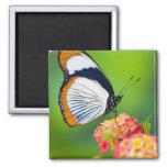 Sammamish, Washington. Tropical Butterflies Square Magnet
