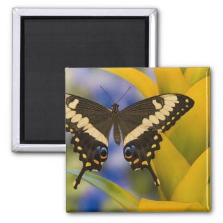 Sammamish, Washington Tropical Butterfly 11 Square Magnet
