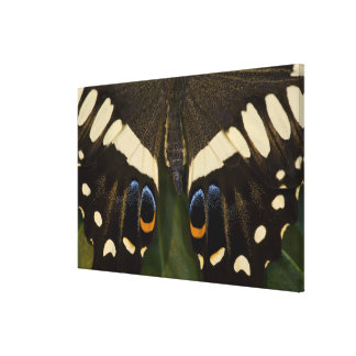 Sammamish, Washington Tropical Butterfly 17 Canvas Print