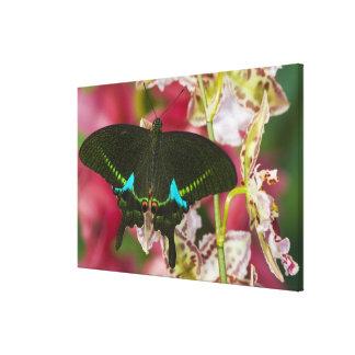 Sammamish, Washington Tropical Butterfly 19 Canvas Print