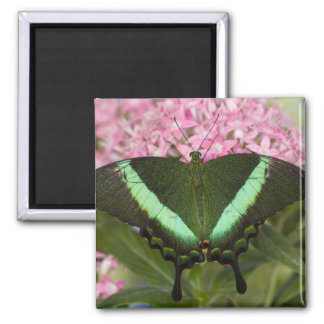 Sammamish, Washington Tropical Butterfly 20 Square Magnet