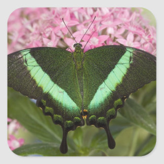Sammamish, Washington Tropical Butterfly 20 Square Sticker
