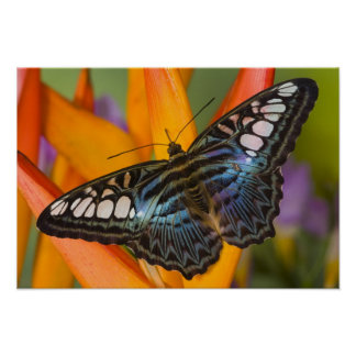 Sammamish, Washington Tropical Butterfly 24 Poster