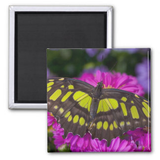 Sammamish, Washington Tropical Butterfly 30 Square Magnet