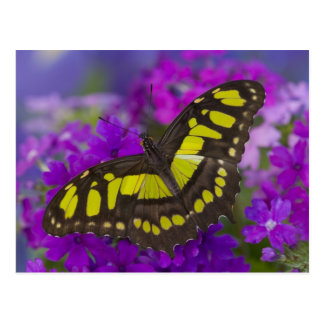 Sammamish, Washington Tropical Butterfly 31 Postcard