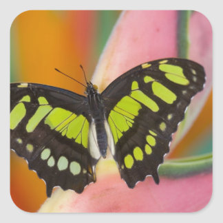 Sammamish, Washington Tropical Butterfly 32 Square Sticker