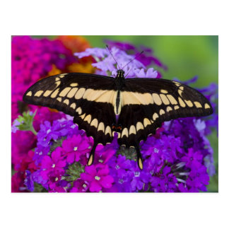 Sammamish, Washington Tropical Butterfly 36 Postcard