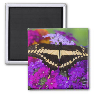 Sammamish, Washington Tropical Butterfly 36 Square Magnet
