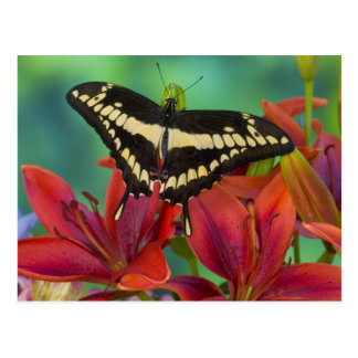 Sammamish, Washington Tropical Butterfly 37 Postcard